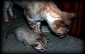 Moonshine Mom helps Moonbeam Kitten look for a toy.